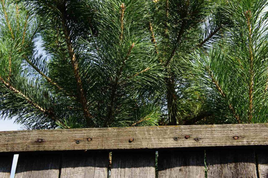 Eigenmächtiger Rückschnitt eines Baums durch Nachbarn ist u.U. zulässig